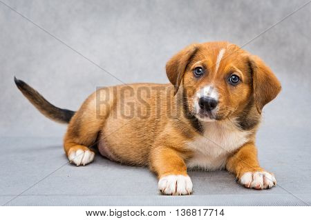 Small red puppy dog with beautiful eyes