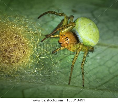 Spider Araniella Displicata defending its nest close-up macro