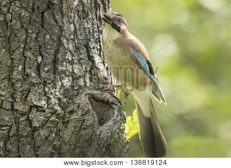 Jay, Juvenile, Perched On A Tree Trunk In A Forest