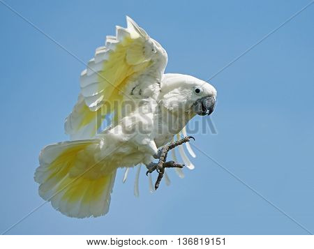 White Cockatoo (Cacatua alba) in flight with blue skies in the background