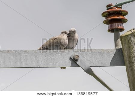 Two Collared Doves on an electricity pylon