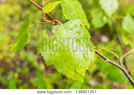 Large drops of dew on fresh leaves. Close-up shot of drops of water. Morning freshness of nature. Forest beauty of green vegetation in the summer.
