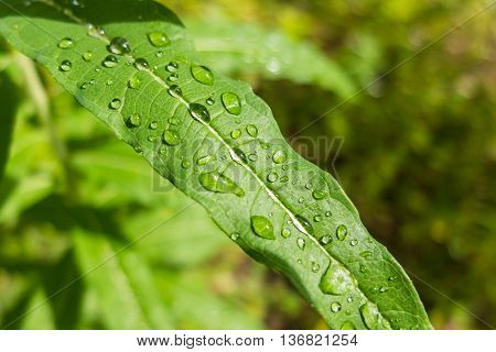 Large drops of dew on fresh green leaf. Close-up shot of drops of water. Morning freshness of nature. Forest beauty of green vegetation in the summer.