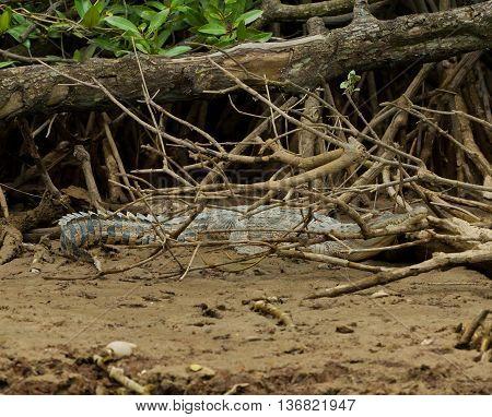 Crocodile in wildlife, in Brunei Darussalam Capital