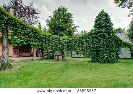 The large Aristolochia in private garden of the Lithuanian
