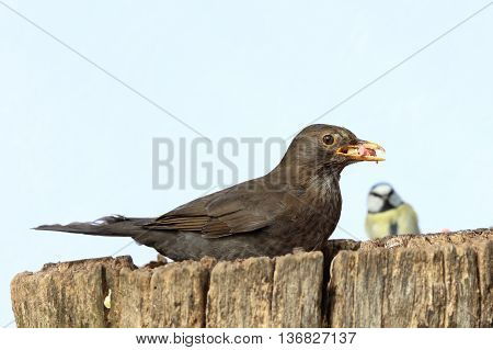 Close up of a female Blackbird collecting food for her young