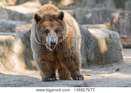 Adult big male grizzly bear reaching for his rear feet.