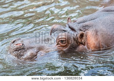 Big male Hippo swimming in a River