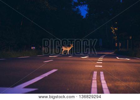 Deer crossing an empty road at dawn