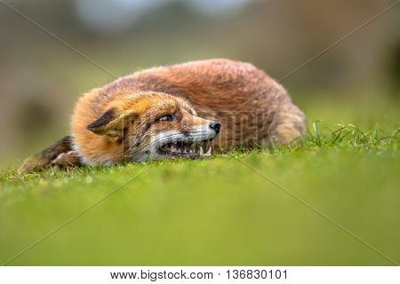 Growling European Red Fox