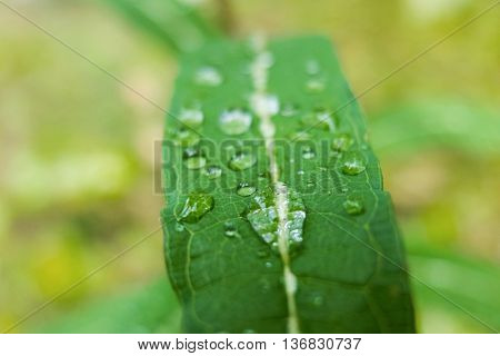 Large drop of dew on a green leaf. Close-up shot of drops of water. Morning freshness of nature. Forest beauty of green vegetation in the summer.