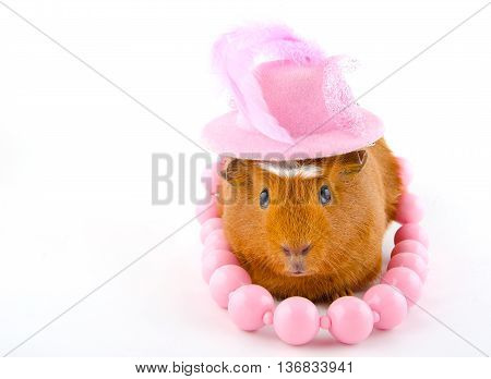 Funny guinea pig wearing a pink hat and pink beads (on the white background)