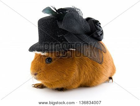 Funny guinea pig wearing a black hat (isolated on white)