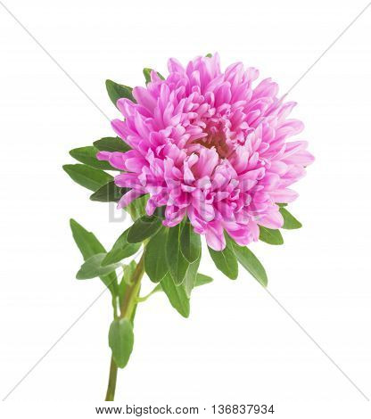 one pink aster isolated on white background