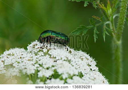 Insect green beetle sits on a white flower, flora and fauna.