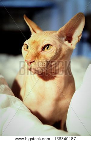 Sphinx cat portrait in light sitting in white sheets