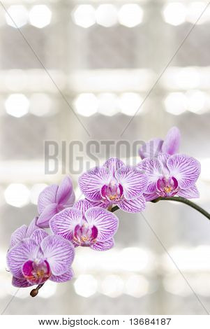 Blossoming orchid flowers