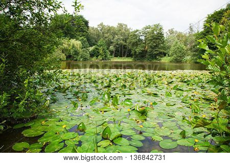 lake overgrown with yellow water lilies in the park on sunny summer day