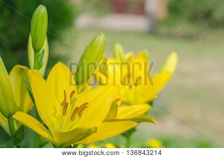 Yellow lily on a colored background in the garden. Sunny day