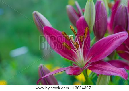 Purple lily on a colored background in the garden. Sunny day