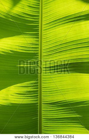 bright banana leaf background back lighted by sunshine