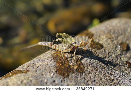 close photo of adult mayfly (Ephemera vulgata) on the stone