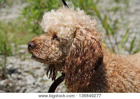 portrait of cute light beige poodle outdoors