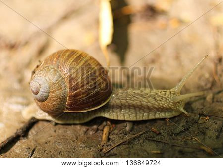 close photo of edible snail (Helix pomatia) on the move