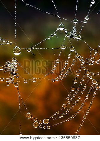 Shiny web with drops of morning dew closeup.