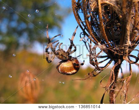 Spider on spider webwith drops  after rain