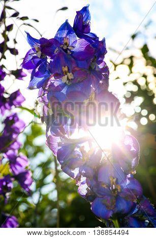 Sparkle Sun Rays Push Through Delphinium Blue Flowers