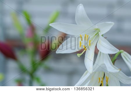 White lily on a colored background in the garden. Sunny day