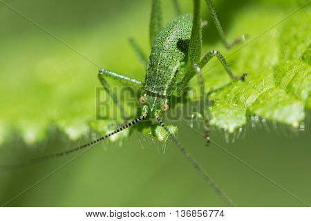 Speckled bush-cricket (Leptophyes punctatissima) eating. Juvenile insect in the family Tettigoniidae feeding on leaf
