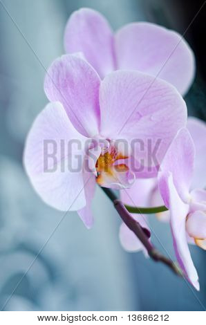 Beutiful Pink Orchid