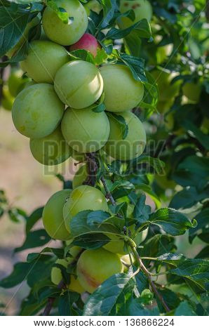 Green plum leaves background in wild nature