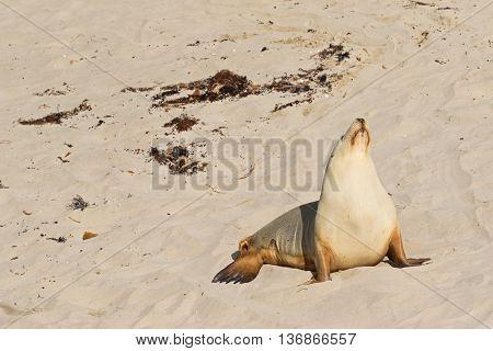 Australian Sea Lion sunbathing on sand at Seal Bay, Sea lion colony on south coast of Kangaroo Island, South Australia