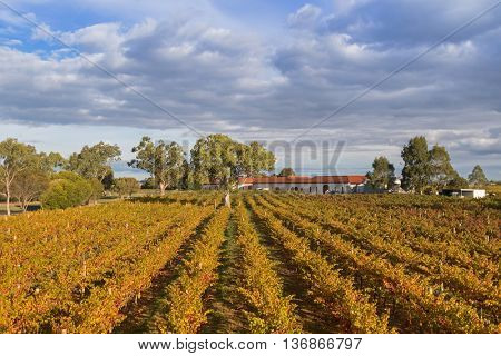 Landscape view of vineyard in the afternoon. These wine grapes are growing on limestone coast in Coonawarra winery region during Autumn in South Australia