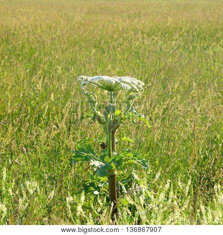 The photo of cow parsnip Sosnowski in summer field.