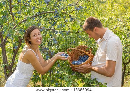 Couple Picking Plums In Field On A Sunny Day