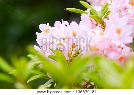Bush Of Blossoming Pink Rhododendron