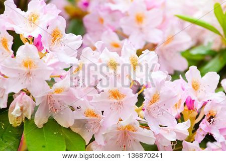 Tender Rhododendrons In Bloom
