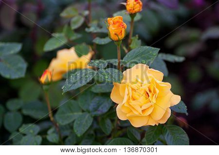 High-quality Roses In A Garden