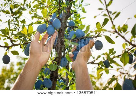 Male Hands Picking Plums From The Tree