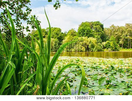 lake overgrown with yellow water lilies on sunny summer day