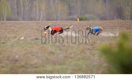Coursing, Passion And Speed. Two Dogs Greyhound Running