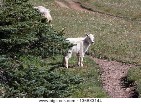 Baby Kid Mountain Goat on Hurricane Hill in National Park Washington State USA