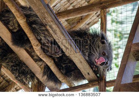 Binturong or Bearcat in wood cage on palawan el nido.