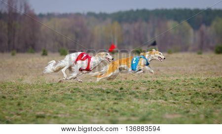 Coursing, Passion And Speed. Russkaya Psovaya Borzaya