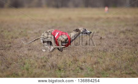 Coursing, Passion And Speed.  Whippet Dog Running.