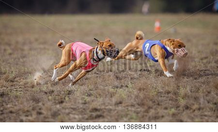 Coursing, Passion And Speed. Basenji Dogs